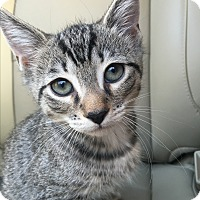 Domestic Shorthair Kitten for adoption in Beacon, New York - Parsley (ETAA)