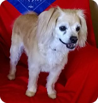 Cocker Spaniel Mix Dog for adoption in Campbell, California - Cookie