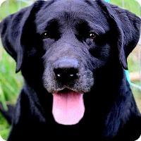Adopt A Pet :: ABE(GORGEOUS PB LABRADOR!! WOW - Wakefield, RI