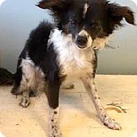 Adopt A Pet :: Ozo-ADOPTION PENDING - Boulder, CO
