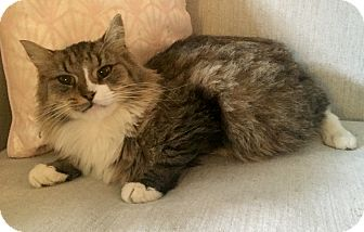 Maine Coon Cat for adoption in Addison, Illinois - Patty Cakes