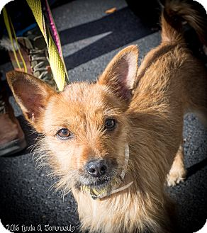 "Terrier (Unknown Type, Small) Mix Dog for adoption in Loudonville, New York - Ichabod ""Izzy"""