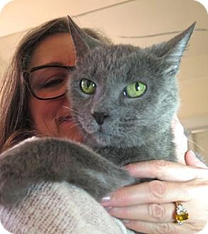 Russian Blue Cat for adoption in New York, New York - Blue Roses