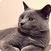 Adopt A Pet :: Steele Gorgeous Russian Blue Beauty - Brooklyn, NY