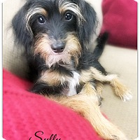 Adopt A Pet :: Sully - Pascagoula, MS