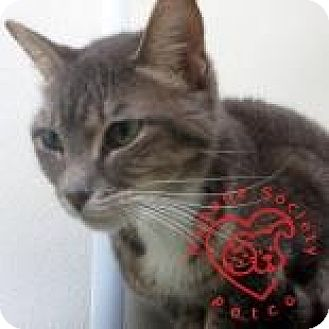 Domestic Shorthair Cat for adoption in Janesville, Wisconsin - Elenora