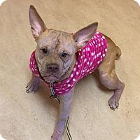 Adopt A Pet :: Precious - Glenolden, PA