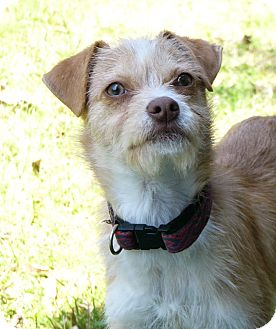 Border Terrier/Cairn Terrier Mix Dog for adoption in Mocksville, North Carolina - George