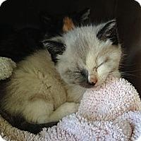 Adopt A Pet :: Lilly - Island Park, NY