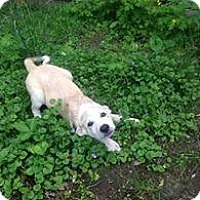 Adopt A Pet :: Iris - Stafford Springs, CT