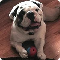 Adopt A Pet :: Tank - Chicago, IL