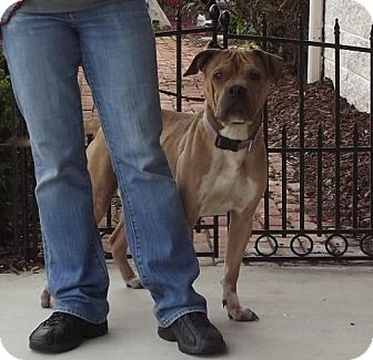 Pit Bull Terrier/Boxer Mix Dog for adoption in Dublin, Virginia - Bucket