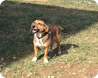 Beagle/Dachshund Mix Dog for adoption in Mechanicsburg, Ohio - Brandy