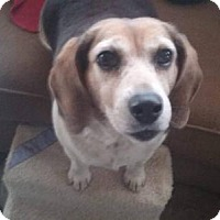 Beagle Dog for adoption in Decatur, Alabama - Lilly