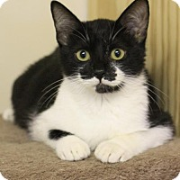 Domestic Shorthair Kitten for adoption in Hammond, Louisiana - Beaux