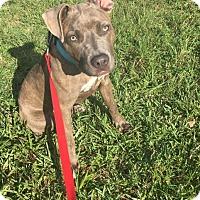 Adopt A Pet :: Ash - Jupiter, FL