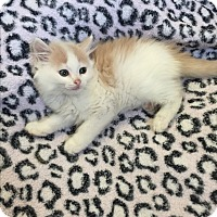 Adopt A Pet :: Cream puff - Hampton, VA