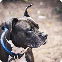 Adopt A Pet :: Ophelia - Berkeley, CA