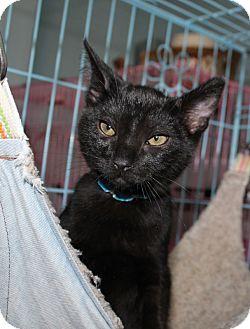 Domestic Shorthair Kitten for adoption in Priest River, Idaho - kittens