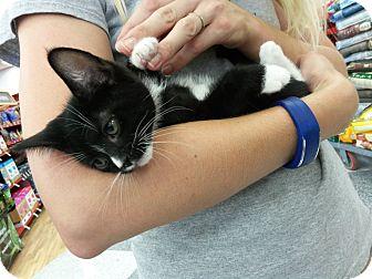 Domestic Mediumhair Kitten for adoption in Monrovia, California - Starlight