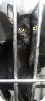 Domestic Shorthair Cat for adoption in Decatur, Georgia - Mama Bell