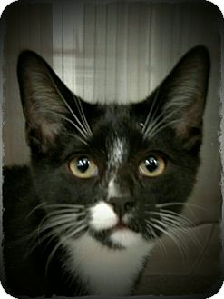 Domestic Shorthair Kitten for adoption in Pueblo West, Colorado - Conrad