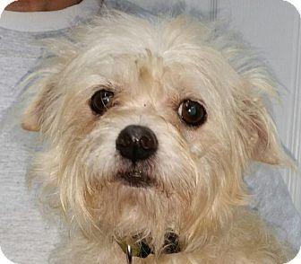Shih Tzu/Schnauzer (Miniature) Mix Dog for adoption in Lexington, Kentucky - Hannah