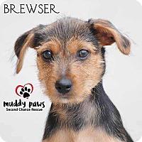Adopt A Pet :: Brewser - Council Bluffs, IA