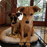 Adopt A Pet :: Corey - B - Simsbury, CT