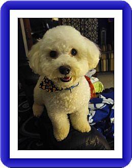 Bichon Frise Dog for adoption in Tulsa, Oklahoma - Pending!!Gus - IN