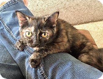 American Shorthair Kitten for adoption in Cerritos, California - Care Bear
