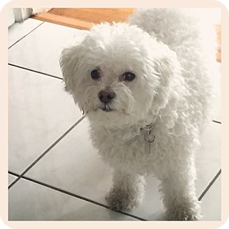Poodle (Miniature)/Maltese Mix Dog for adoption in Milan, New York - Nala