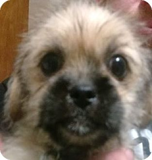 Lhasa Apso/Pug Mix Puppy for adoption in Bloomington, Illinois - Rexx