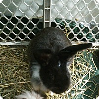 Lionhead for adoption in Hanover, Pennsylvania - Bugs