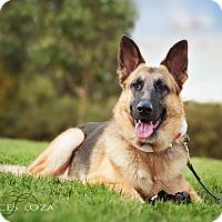 Adopt A Pet :: BOOMER - Gustine, CA