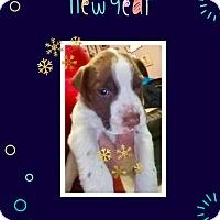 Adopt A Pet :: Apollo - Media, PA