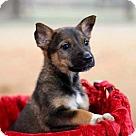 Adopt A Pet :: PUPPY MAGGIE