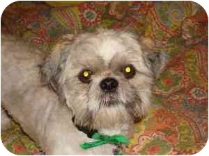 Shih Tzu Mix Dog for adoption in Houston, Texas - Buster