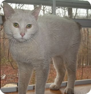 Oriental Cat for adoption in Witter, Arkansas - Tromboline (Oriental bobtail)