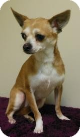 Chihuahua Mix Dog for adoption in Gary, Indiana - Candelabra