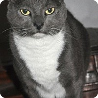 Domestic Shorthair Cat for adoption in La Canada Flintridge, California - Sybil