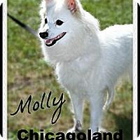 Adopt A Pet :: Molly - Elmhurst, IL