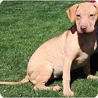 Adopt A Pet :: Maple - Gilbert, AZ