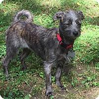 Adopt A Pet :: Daisy-Sweet/Tiny-Meet Her - Norwalk, CT