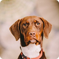 Adopt A Pet :: Brittany - Portland, OR