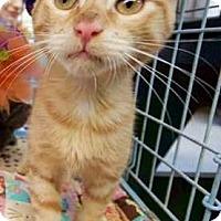 Adopt A Pet :: PENCIL - Ridgewood, NY