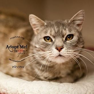 Domestic Shorthair Cat for adoption in Denver, Colorado - Winona