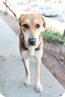 Labrador Retriever/German Shepherd Dog Mix Dog for adoption in San Diego, California - Drummond