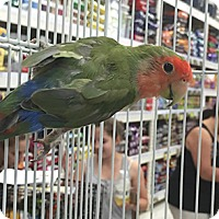 Adopt A Pet :: Apricot - Patterson, NY
