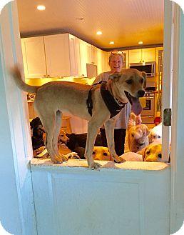 Labrador Retriever Mix Puppy for adoption in Sagaponack, New York - Jackie